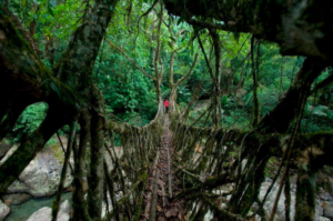 生きている橋(The Living Root Bridges)